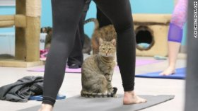 A cat peers between the legs of one yoga student.